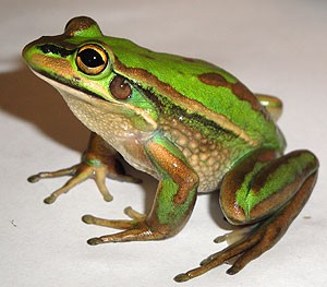 Figure 1. Green and Golden Bell Frog from Australia. Newly emerged metamorphs are able to follow conspecifics to suitable terrestrial habitats.