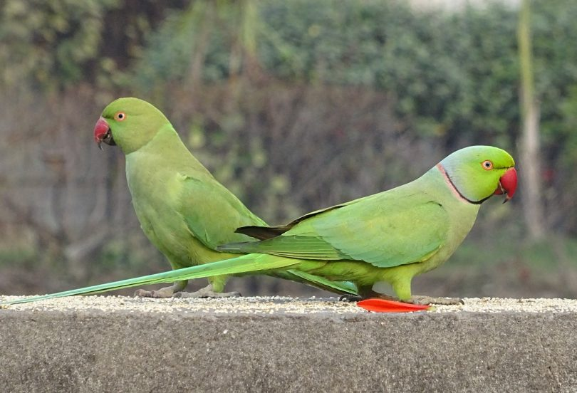 invasive non native species uk ring necked parakeet inside ecology