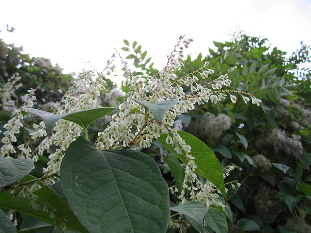 fallopia-japonica japanese knotweed invasive non-native species