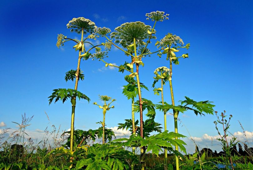 giant hogweed invasive non-native species