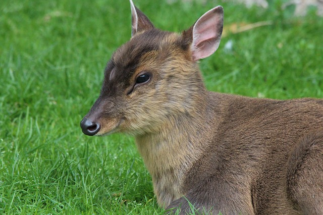 muntjac deer invasive non-native species
