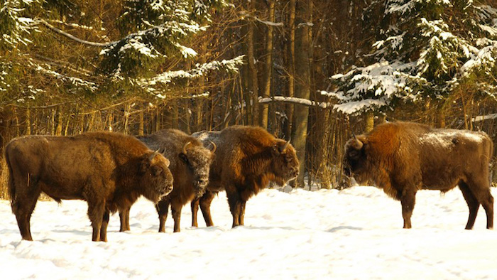 European bison at Bialowieza. Photo © Francesco Carrani / Flickr