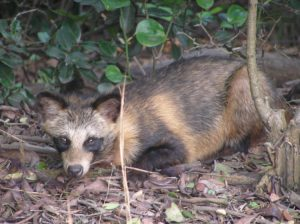Racoon dog (Photo credit ©Prue Simmons / Wikimedia Commons)