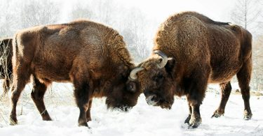 European bison sparring in Russia. Photo © Alexandr frolov / Wikimedia Commons