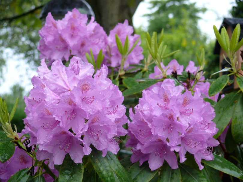 rhododendron non-native invasive species