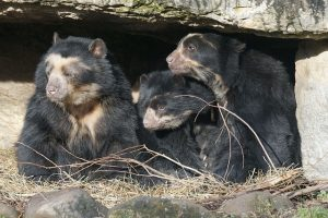 The only surviving Tremarctine Bear - The Spectacled Bear/Andean Bear (Tremarctos ornatus)