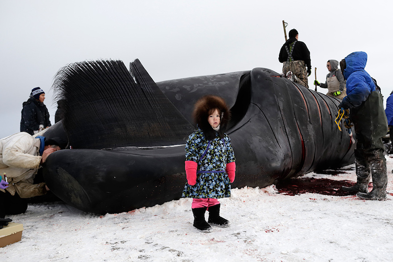 Whaling is a community event in Barrow. Even Inupiat children too small to help process bowhead catches are still brought to see the whale. (Photo credit: AP Photo|GregoryBull)