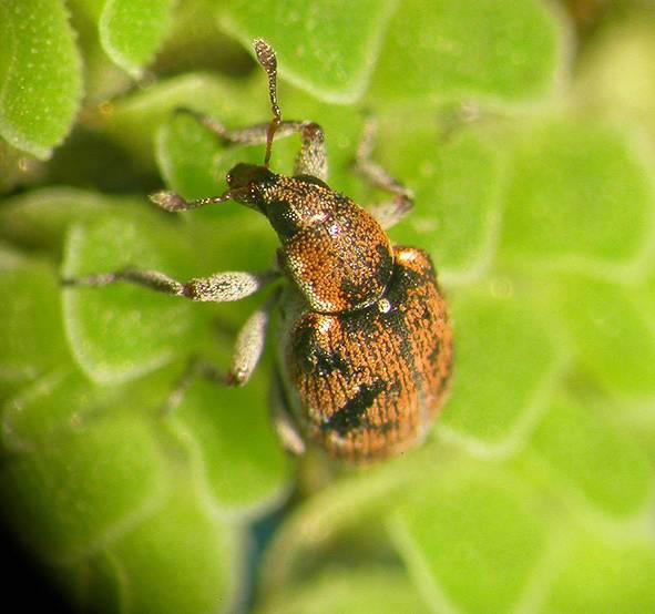 Stenopelmus rufinasus Azolla Weevil (Photo credit ©Rob Reeder - CABI