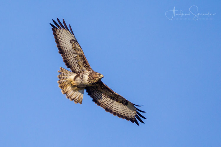 Common Buzzard (Photo credit ©Andrew Sproule)