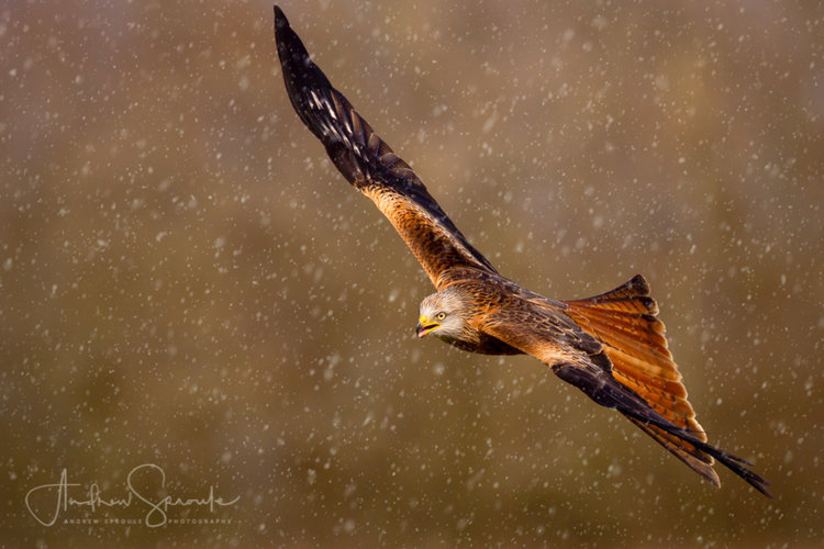 andrew-sproule-wildlife-photography-red-kites-gigrin-farm-wales-02