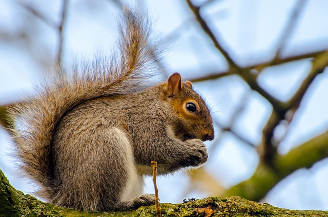 grey squirrel non-native invasive