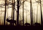 wild boar UK