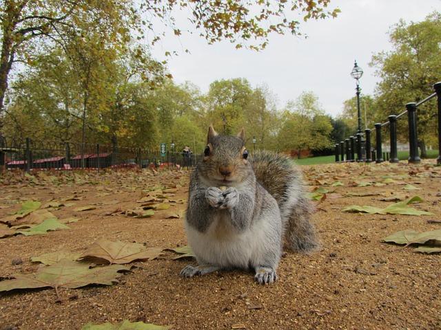 grey squirrel non-native invasive