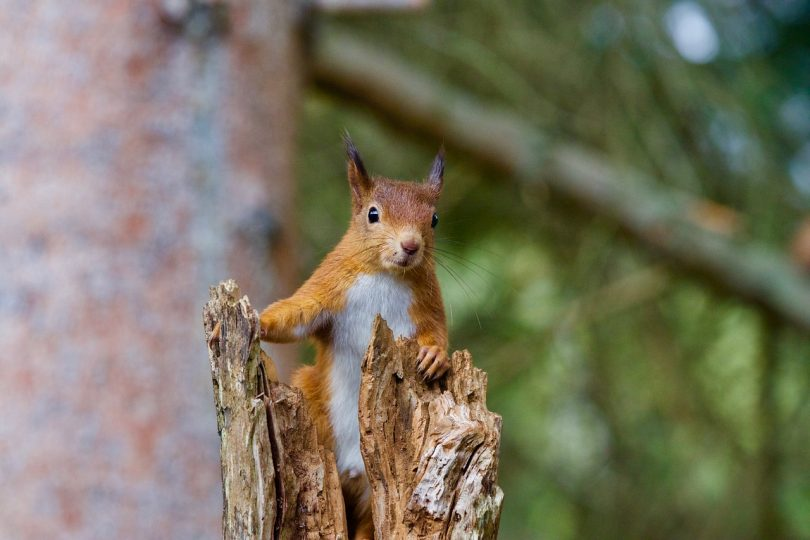 red squirrel release