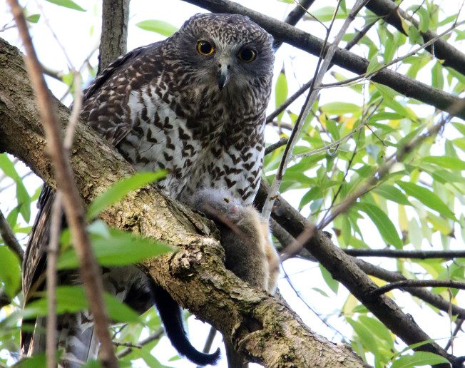 A male Powerful Owl sitting on an unlucky Common Brushtail Possum. This owl was in a reserve along Melbourne's Yarra River. Note: It is roosting in an exotic Willow tree (which was subsequently removed as a weed management plan).