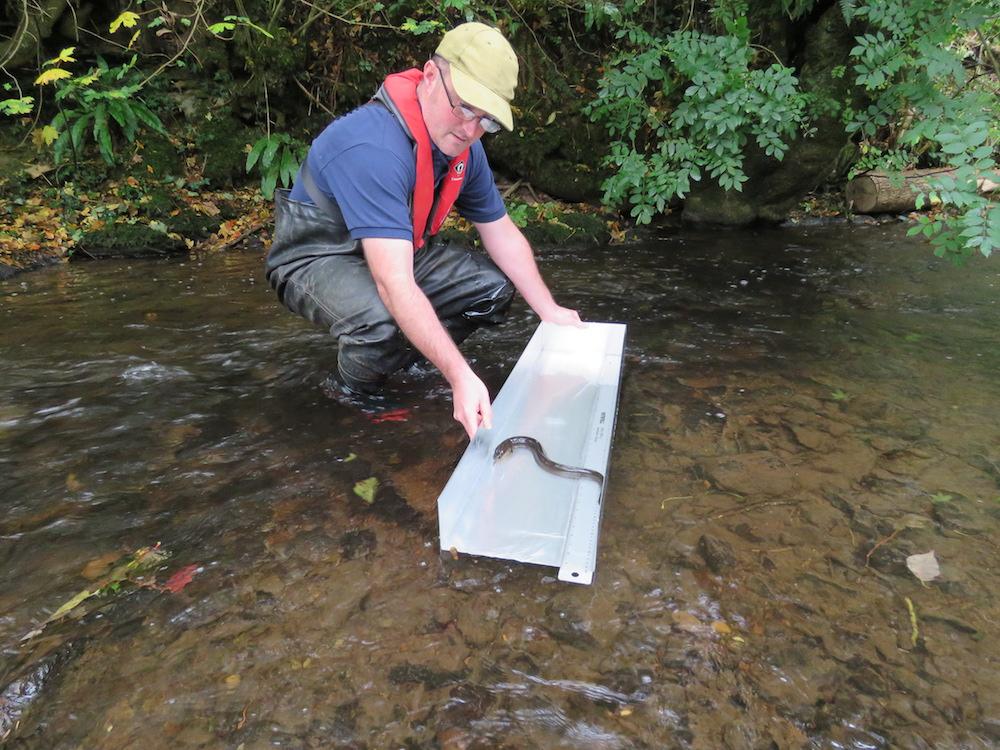 The Author releasing an eel during surveys ©Peter Walker)