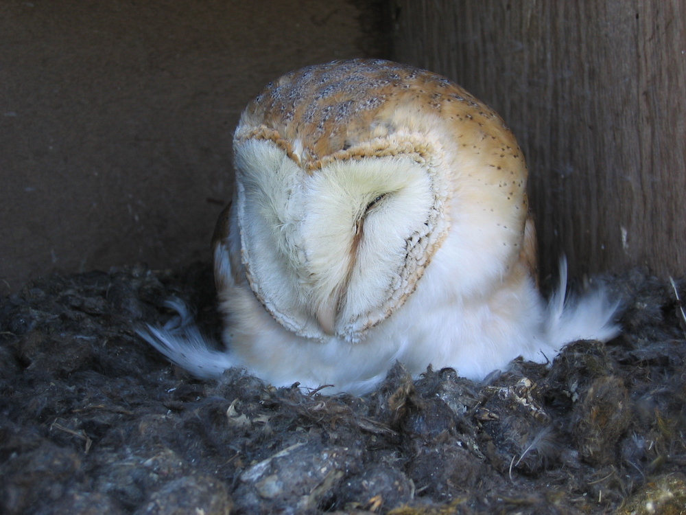 colin shawyer barn owl raptor