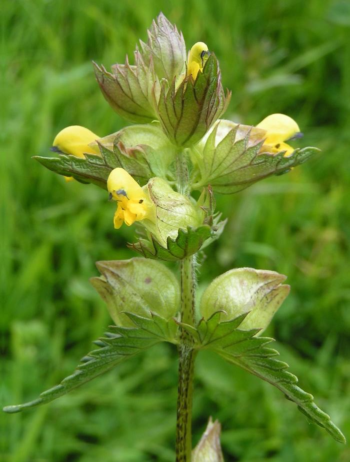 Yellow-rattle