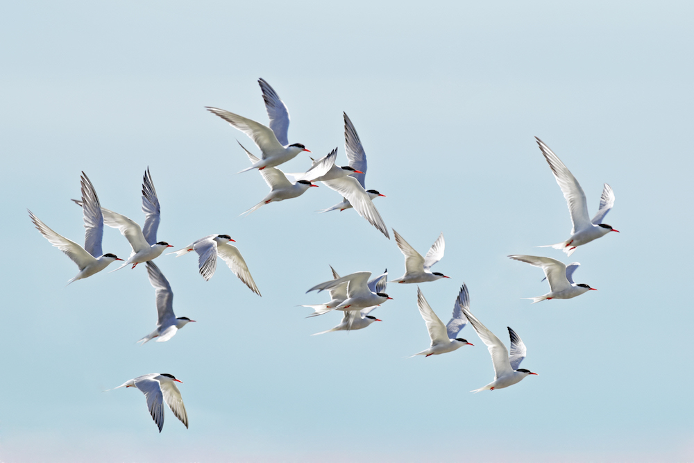 Arctic Terns flock (Photo credit ©Georgina Kelly)