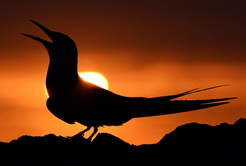 Arctic Tern at sunrise