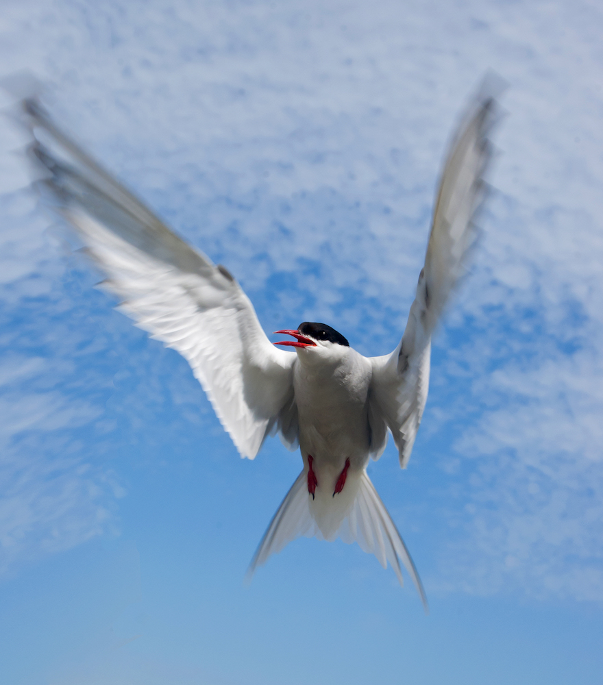 Arctic Tern in flight (Photo credit ©Georgina Kelly)