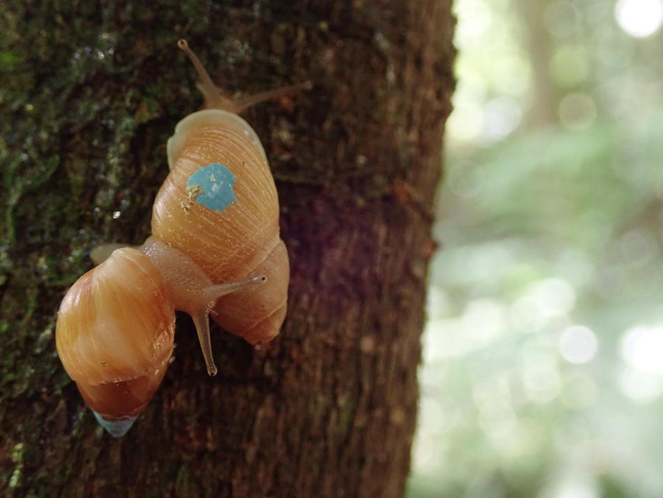 Dispersing Partula suturalis vexillum, reintroduced in September 2017 to Moorea by the Partula snail conservation programme (Photo credit ©Paul Pearce-Kelly)