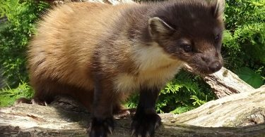 Pine Marten project officer