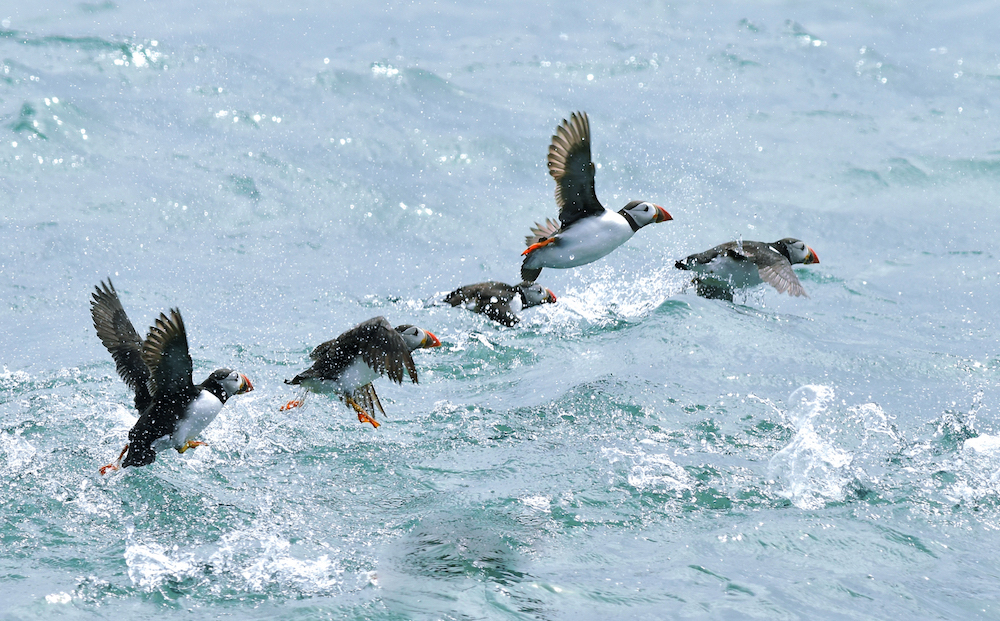 Puffins in flight (Photo credit ©Georgina Kelly)