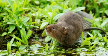 Water Vole reintroductions