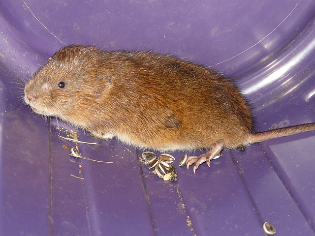 water vole reintroduction