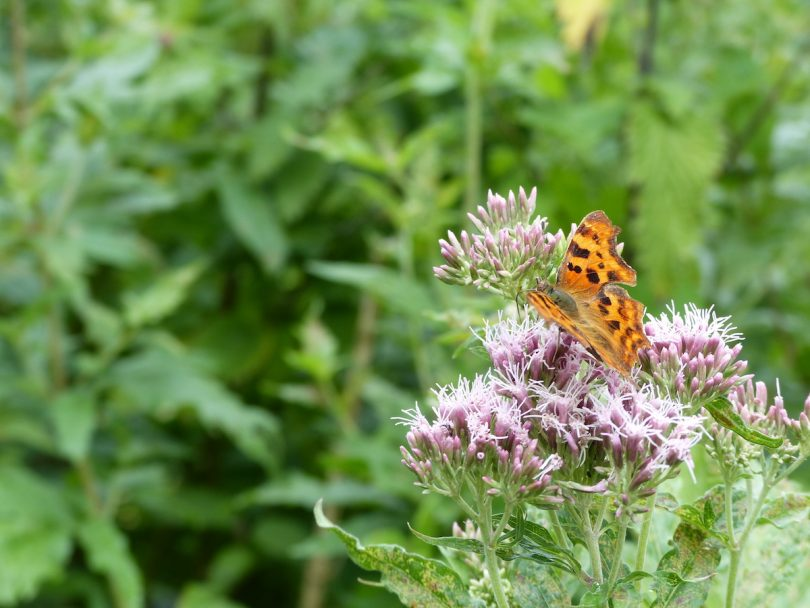 Comma Polygonia careers series ecologist
