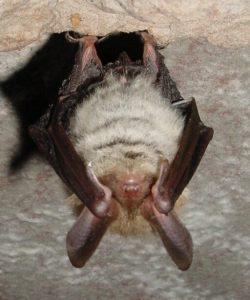 Bechstein's bat genetics