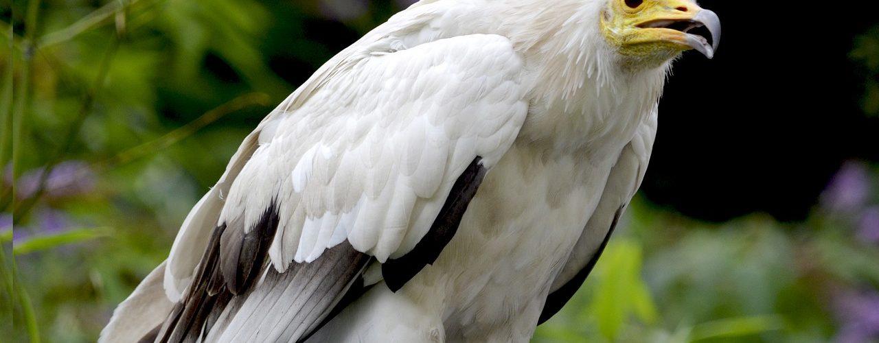 vultures careers series rspb