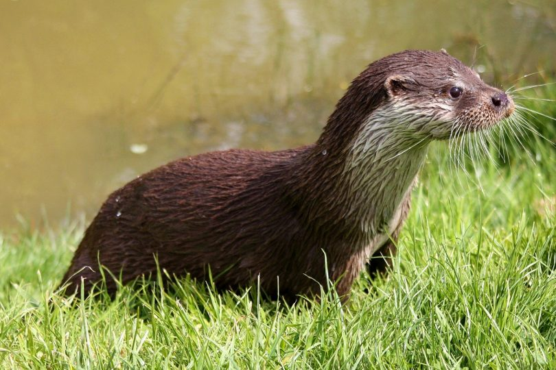 otters of the world