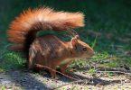 Red squirrel Ireland