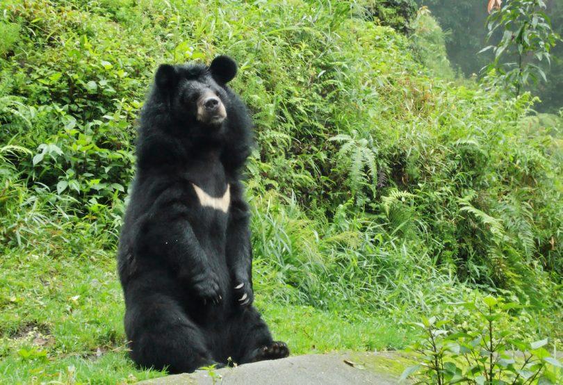asiatic black bear bile industry