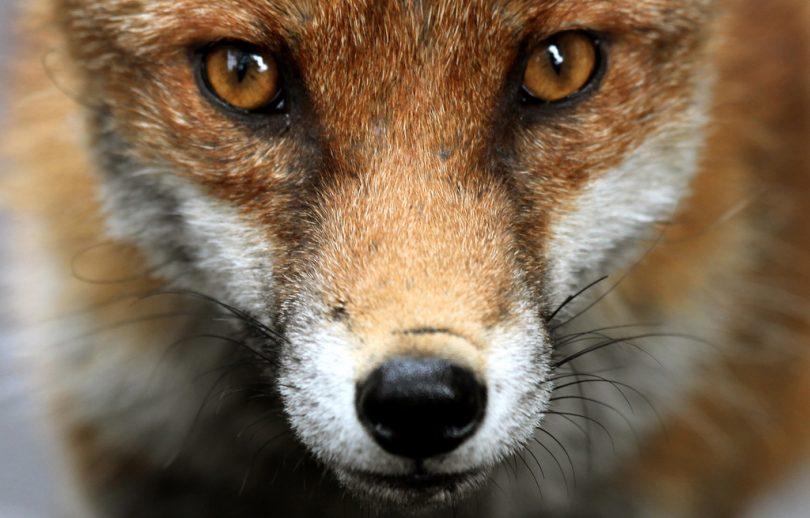 urban fox ian wade