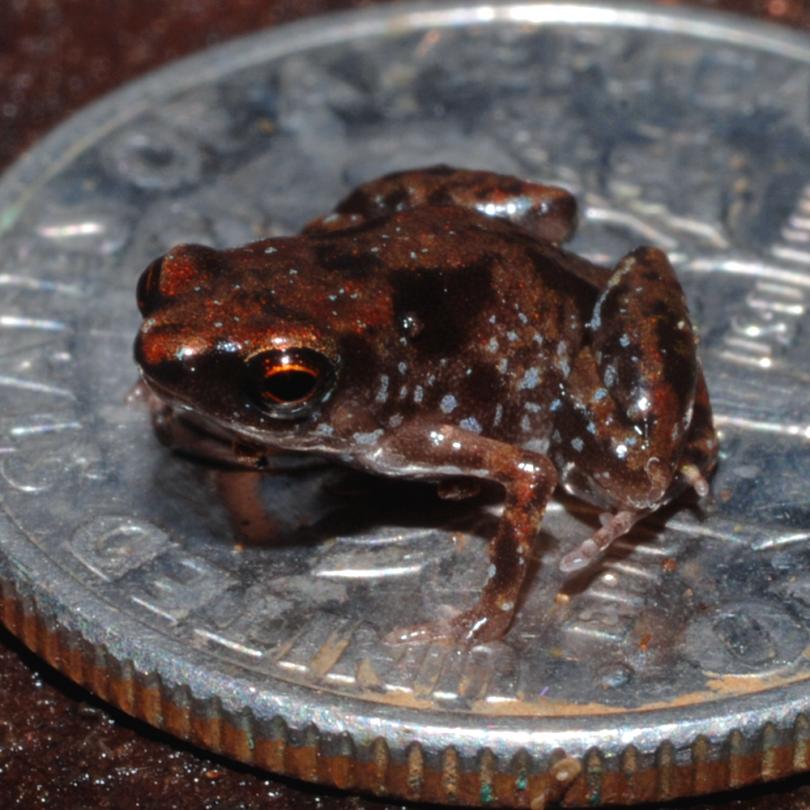 miniaturisation amphibians