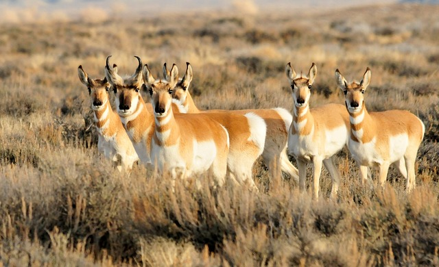 pronghorn roads and wildlife