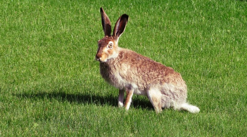 brown hare coursing