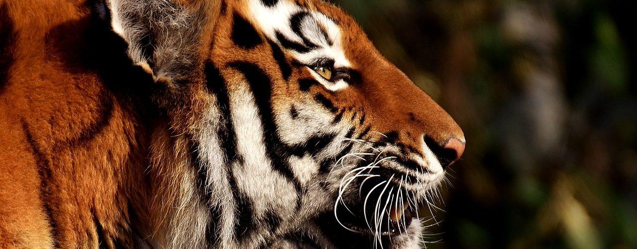 rewilding carnivore research