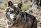 grey wolf conservation USA