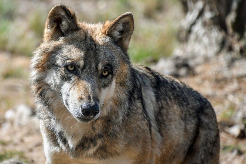 grey wolf conservation USA