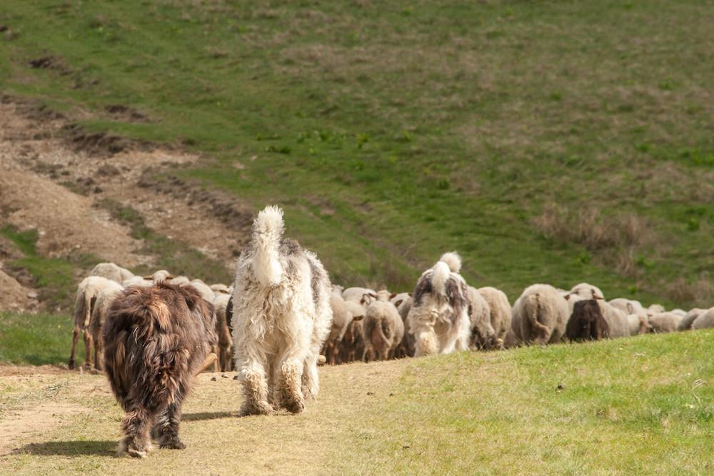 livestock guardian dogs