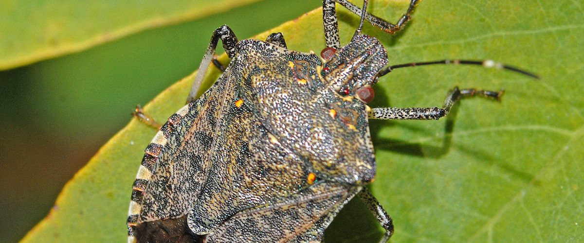invasive stink bugs
