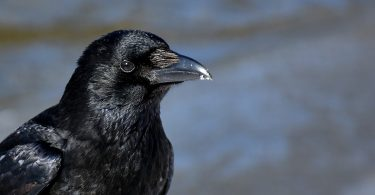 caring for corvids