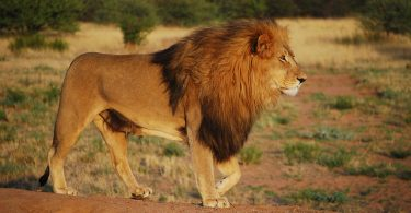 lion conservation interdisciplinary research