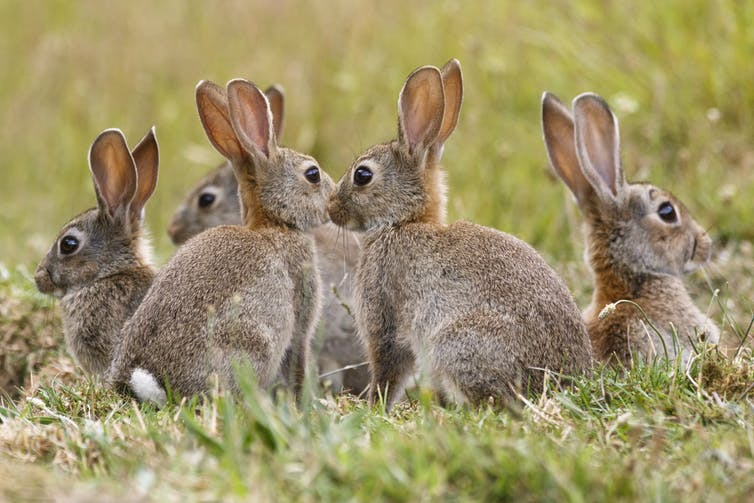 invasive species rabbits australia