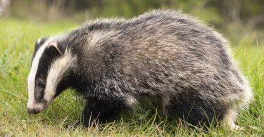 badgers planning system uk