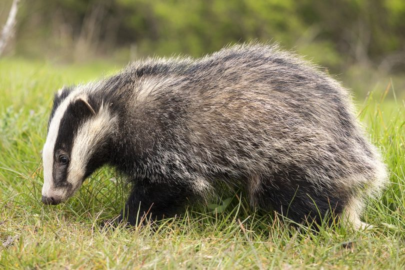 badgers planning system uk